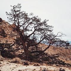 trees do super well in the... (szellner) Tags: tree nature desert hiking exploring windy wanderlust adventure mojave wilderness sierras sierranevada dayhike naturelovers uploaded:by=flickstagram instagram:photo=8965763996990584161442850998