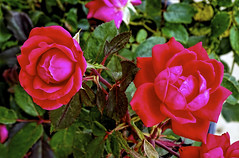 Twin Double Knockouts (brucecarlson66) Tags: red color green art love nature beauty leaves rose austin leaf spring intense texas perfume cut central grow twin double springs oil knockout bloom growing ornamental dripping