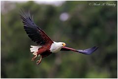 The Formidable Fisher (MAC's Wild Pixels) Tags: inflight eagle kenya ngc npc raptor wildanimal fisheagle africanfisheagle wildbird laikipia wildafrica birdsofeastafrica macswildpixels theformidablefisher olpejetaranch