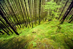 Somewehere in Norway (Andrea Loria) Tags: wood winter tree green lines forest spring geometry spruce fresch