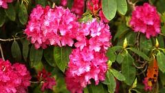. (johndunlop17) Tags: castle gardens rhododendron kennedy