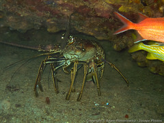 Huge Caribbean Lobster (3scapePhotos) Tags: travel sea vacation fish island islands underwater scuba diving virgin tropical huge lobster british caribbean wreck tropics bvi britishvirginislands rhone saltisland