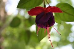 Fuchsia/Fuchsia (Fuchsia sp.) (Andrew-1 (Thanks for 7500+ Favourites!)) Tags: plant flower nature fleur gardens plante botanical outside outdoors purple violet jardin botanique extrieur dehors hangingplant