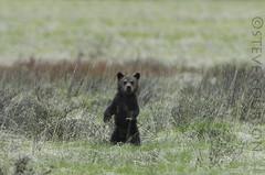 grizzly cub admiring my Nikon (Steve Courson) Tags: standing cub yellowstonenationalpark grizzlybear stevecourson