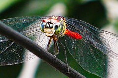 DragonFly_5 (whisky sierra) Tags: dragonfly flyinginsect smallinsect