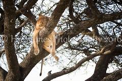 IMG_6030-2 (hcjonesphotography) Tags: africa park elephant black tree nature birds animal umbrella tanzania monkey cub rainbow buffalo jackal eagle crane outdoor lion tent lodge lizard ostrich safari ngorongoro national leopard crater rhino lions zebra cheetah giraffe hippo impala serengeti hyena maasai hornbill stork mongoose wildebeest warthog manyara tarangire dikdik tented