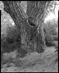 big dry creek giant (mike thomas) Tags: tree film analog landscape photography centennial colorado trail 400 4x5 rodinal chamonix 250 fomapan fujinonw mod54 045f1