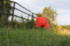 Lonely poppy (Pascal Volk) Tags: plant flower berlin nature floral blossom natur pflanze bloom 40mm blume blte flowerpower marzahn altmarzahn canoneos6d hinterdermhle berlinmarzahnhellersdorf canonef40mmf28stm