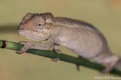 Kwa-Zulu Natal Dwarf Chameleon- Bradypodion melanocephalum (garykylenicolau) Tags: africa natal kyle dwarf no south flash gary least chameleon reptiles durban herpetology concern nicolau kwazulu bradypodion melanocephalum