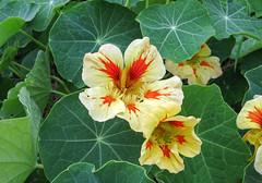 Tropaeolum (thingsfrompanama) Tags: flowers flores panama tropaeolum cerropunta chiriqui