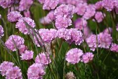 Grasnelken (a-r-a-55) Tags: flowers plants flower scotland pflanzen blumen elie schottland grosbritannien