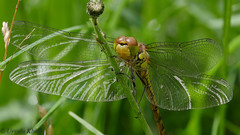 Libelle (Oerliuschi) Tags: libelle fluginsekt panasoniclumixgx8 olympusm60macro macoraufnahme