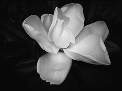 Magnolia Bloom - BW 27/52 (Firery Broome) Tags: summer blackandwhite bw flower nature monochrome blackwhite cellphone maryland bloom magnolia 365 phonephoto 52 apps iphone naturelovers ipad earthnature 52weeks cecilcounty artofnature largeflower blackandwhitenature phoneography project52 marylandnature vsco monochromemonday iphonenature iphoneography 52weeksofphotography ipaddarkroom snapseed iphone5s image2752