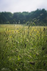 A Meadow Morning (Ollie Smith Photography) Tags: summer nature field grass landscape outdoors nikon cheshire bokeh meadow wildflower lightroom shallowdepthoffield runcorn halton sigma1750 d7200