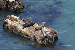 Trying to Join the Group (Rick Derevan) Tags: california seal marinemammal harborseal phocavitulina