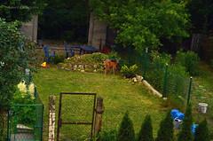 A deer (a doe) in the neighbour's garden (ChemiQ81) Tags: poland polska polish deer polen polonia pologne polsko jelen jele wojkowice ania