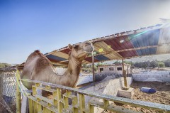 Colors of Summer in Qatar (zai Qtr) Tags: summer sun colors outdoor camel ahmed gcc qatar manal zaiqtr aldosarizooandgamereserve eidalfitr2016