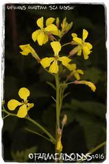 Raphanus maritima 'Sea Radish' (farmer dodds) Tags: sea wildflower radish herb raphanus brassicaceae searadish raphanusmaritima