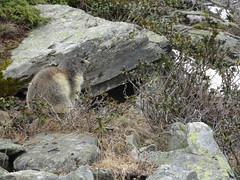 DSC01862 (bleausard2) Tags: marmot murmeltier marmotte mungg