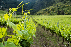 The grapes that come after the summer (jcfasero) Tags: valdeorras vino wine grape nature naturaleza color ngc ourense sony rx100 galicia espaa spain rural landscape