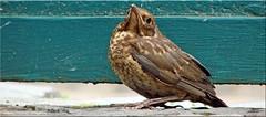 Catbird Clara! (Jorbasa) Tags: bird germany deutschland hessen attack katze blackbird kater vogel tomcat amsel wetterau attacke jorbasa annherungsversuch