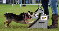 Banbury Cross Flyball - Penny Goes for the Catch