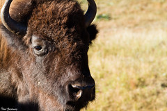 Moseying into my frame (Thad Zajdowicz) Tags: bison face closeup custerstatepark southdakota usa americanwest animal mammal nationalmammal wildlife eye horns snout fur zajdowicz canon eos 7d dslr digital lightroom roadtrip travel nature fauna availablelight daylight bokeh dof depthoffield outdoor outside autumn wild