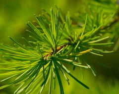 DSC_0081.jpg (wackybadger) Tags: tree wisconsin leaf nikon tamarack ironcounty larixlaricina wisconsinstatenaturalarea nikond3300 nikon105mmf28gafsmacro11vr sna502 dupagelakepeatlandssna