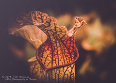 Creative Edit Of Pitcher Plants (Peter Greenway) Tags: flowers england woodstock carnivorous oxfordshire flowershow carnivorousplants pitcherplant sarracenia flowerfestival pitfalltraps blenheimflowershow blenheimflowerfestival