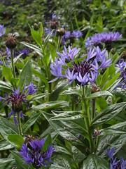 Cornflower blue (bryanilona) Tags: flowers blue wet garden cornflowers