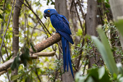Blue Hyacinth Macaw (james.froumis) Tags: blue bird animal zoo nikon sandiego d750 macaw hyacinth safaripark 70300mmvr