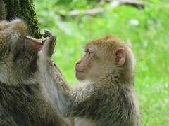 Monkeys at Trentham Monkey Forest (simonbullen85) Tags: canon monkey canonpowershot canoncamera monekys trenthammonkeyforest sx60 canonsx60hs sx60hs