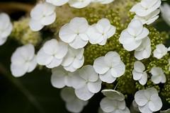 Hydrangea quercifolia (Jim Mayes) Tags: macro digital canon eos tamron 90mm tamronspaf90mmf28dimacro