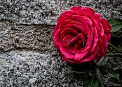 Rose Maritim (ulibrox) Tags: red rot rose blossom pflanzen rosen blume blte maritim on1 perfecteffects