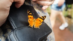 Beautiful butterfly in Iguazu National Park (sakhitasharma) Tags: travel latinamerica southamerica argentina animals butterfly photography wildlife butterflies wanderlust iguazu travelphotography iguazunationalpark sakhitasharma