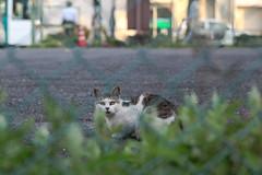 Stray cat (ogizooo) Tags: canon 5dmark2 ef100mmf2usm cat straycat