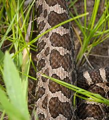 Pattern (Nick Scobel) Tags: nature snake michigan eastern rattlesnake venomous rattler sistrurus massasauga catenatus