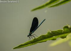 Flying Insect - Dragon Fly (BesimIbrahimii) Tags: insect kosova kosovo albania identified