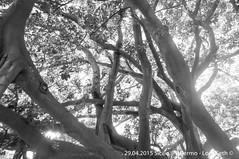 Palermo (Lord Seth) Tags: bw italy nikon palermo sicilia biancoenero baobab 2015 giardinobotanico d5000 lordseth