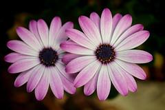 Daisy duo (malgorzata_p) Tags: garden violet daisy