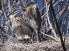 Blue Herron Chicks (Idahobill2008) Tags: blue herron chicks