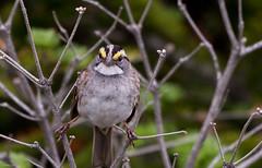 White-throated Sparrow, Monchy Road (frank.king2014) Tags: ca canada whitethroatedsparrow gander newfoundlandandlabrador