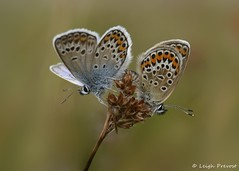 Silver Studded Blue, Plebejus argus (Nature Exposed) Tags: blue butterfly insect sussex westsussex wildlife blues insects argus lycaenidae bluebutterfly plebejusargus silverstudded silverstuddedblue wildlifephotography plebejus iping butterfles natureexposed ipingcommon stedhamcommon leighprevostphotography