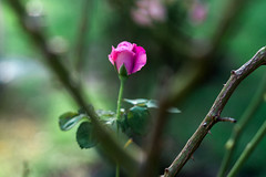 6.26.16 (Josh Meek) Tags: plant flower nature rose garden outdoor lavender depthoffield