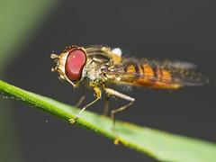 Marmalade Hoverfly (sivaD nhoJ) Tags: macro nature animal insect fly wildlife hoverfly invertebrate arthropod 2016 episyrphusbalteatus