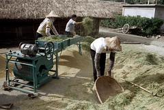 32-158 (ndpa / s. lundeen, archivist) Tags: houses homes winter people woman house color building fall film home rural 35mm buildings workers women village basket rice nick working taiwan machine rake worker thatchedroof 1970s 1972 hualien 32 taiwanese eastcoast unidentified raking thresher threshing dewolf rurallife thatchroof republicofchina easterncoast easterntaiwan nickdewolf photographbynickdewolf hualiencounty ricethresher threshingrice reel32