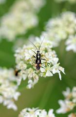 Plant Bug (Grypocoris stysi) (RiverCrouchWalker) Tags: miridae grypocorisstysi plantbug insect invertebrate umbelliferae essex theydonbois july summer 2016