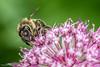 Honey Bee (Baljinder.Gill) Tags: macro nature insect nikon bees insects bee honeybee naturemacro naturephotography macrophotography macroinsect naturewildlife beeonflower beemacro macrohoneybee macronature insectphotography