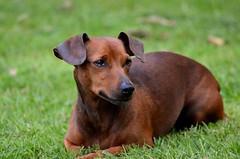 pinscher nain fauve (marinaphoto17) Tags: dog chien animal pinscher fauve nain domestique