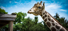 Jimmi Blue Skies (Donald.Gallagher) Tags: animals blue giraffe lenstagger md mammals maryland nature northamerica plumptonparkzoo risingsun spots summer typecolor typenormal usa zoo brown clouds white